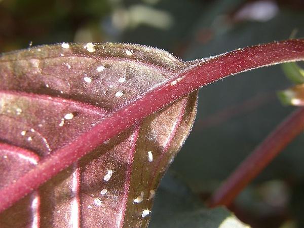 Weisse fliegen an den pflanzen image 1 for Gelbe leimtafeln