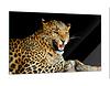 Acrylglasbild Gepard zeigt Zähne