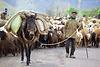 Ein einheimischer Bauer führt seine Herde