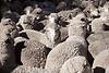 Merinoschafe liefern die begehrte Wolle