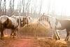 niedliche Ponys beim Fressen an der Heutraufe