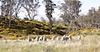 Tasmaniens Merinoschafe