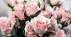 Wundervolle, rosa Rosenpracht